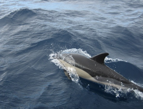 Voisi olla hai, mutta onkin delfiini. Azoreiden vesissä.