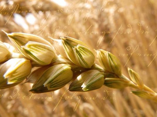 vehnänkorsi