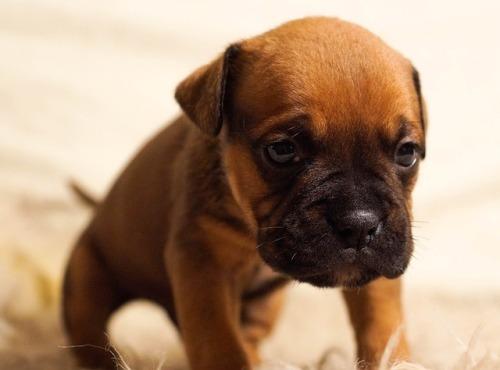 surullinen koiranpentu
