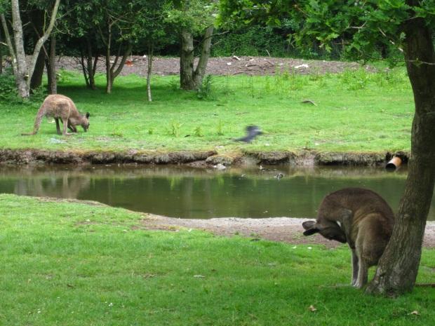 kengurut 2