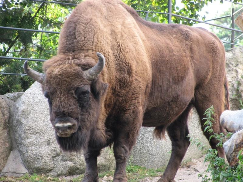 Eläintarhojen ansiosta sukupuutolta pelastunut visentti eli euroopanbiisoni.